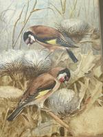 Ornithological Watercolour Finches Birds Study by Florence Barlow Royal Doulton (28 of 40)