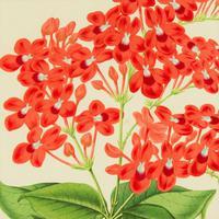 Vibrant 'Eranthemum Chinnabarinium' Chromolithograph 1871-1881