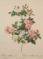 Rosa Mulifora Carnea Lithograph, Pierre Joseph Redoute 1954 (2 of 3)