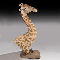 Rare And Extremely Well Prepared Late 20th Century Taxidermy African Bull Giraffe (14 of 14)