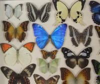Antique Specimen Butterfly Case (5 of 6)