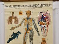 """Large University Anatomical Chart """"Veins and Lungs"""" by Turner (3 of 6)"""