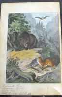 6 Framed Animal Coloured Pictures Plates C1877 Sketches from Nature - N America & Canada (7 of 12)