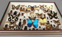 Large Antique Specimen Butterfly & Insect Case (4 of 7)