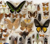 Large Antique Butterfly & Insect Specimen Case (4 of 7)