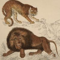 Hand Coloured 'Stylised Big Cats' Lithograph. Goldsmith 1875