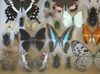 Large Antique Specimen Butterfly & Insect Case (7 of 9)