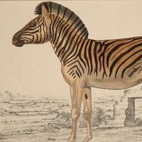 Hand Coloured 'Zebra' Lithograph. Goldsmith 1875