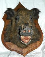 Taxidermy Boars Head (3 of 5)