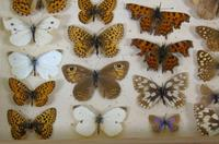 Antique Butterfly & Moth Cased Specimen Collection (8 of 8)