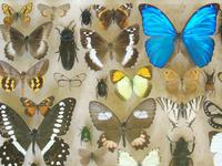 Large Antique Specimen Butterfly & Insect Case (4 of 9)