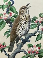 """Watercolour """"Chirping Song Thrush Bird"""" Signed Charles Frederick Tunnicliffe OBE RA 1901-1979 (3 of 35)"""