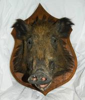 Taxidermy Boars Head (2 of 5)