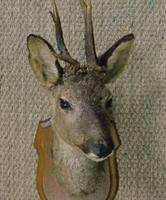 Taxidermy Roe Deer (4 of 4)