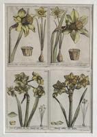 18th Century French Hand Coloured Botanical Copperplate Engravings (3 of 6)