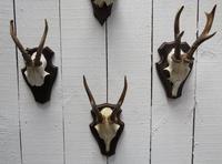 Roe Deer Antlers (3 of 7)