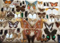 Large Antique Specimen Butterfly & Insect Case (2 of 10)