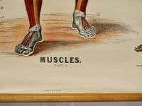 """Large University Anatomical Chart """"Muscles"""" by Turner (4 of 7)"""