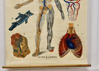 """Large University Anatomical Chart """"Veins and Lungs"""" by Turner (4 of 6)"""