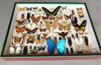 Large Antique Butterfly & Insect Specimen Case (3 of 7)