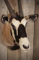 Taxidermy Gemsbok (3 of 6)