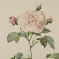 Rosa Alba Regalis Lithograph. After Pierre-Joseph Redoute. 1951 (2 of 4)