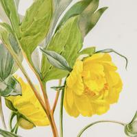 Elegant 'Yellow Peonia' Chromolithograph 1903 (4 of 4)