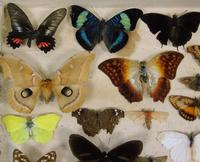 Antique Butterfly and Moth Cased Specimen Collection (3 of 7)