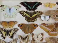 Antique Butterfly & Moth Cased Specimen Collection (4 of 8)