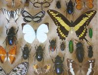 Large Antique Specimen Butterfly & Insect Case (6 of 9)