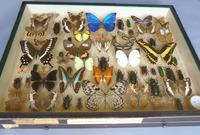 Large Antique Specimen Butterfly & Insect Case (3 of 9)