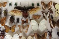Large Antique Specimen Butterfly & Insect Case (5 of 7)