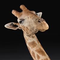 Rare And Extremely Well Prepared Late 20th Century Taxidermy African Bull Giraffe (7 of 14)