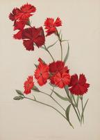 Dianthus Atkinson Chromolithograph. Robinson. The Garden 1871-1881 (2 of 4)