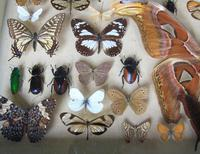 Large Antique Specimen Butterfly & Insect Case (4 of 10)