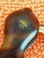 Antique Victorian Double Folding Tortoise Shell Lorgnette Eye Glasses C1900 (7 of 12)