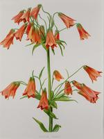 Lilium Grayi Chromolithograph. Henry G Moon 1903 (4 of 4)