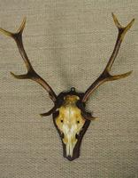 19th Century Antique Antlers on Shield (3 of 5)