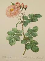 Rosa Damascena Aurora. After Pierre Joseph Redoute 1951 (2 of 4)