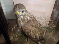 Magnificent Taxidermist's Display of a Buzzard in a Glass Case -  Late Victorian (2 of 6)