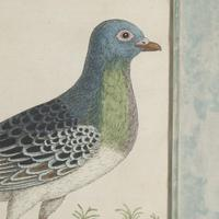 Set of Four Dove Coloured Engravings by Eleazar Albin 18thc (5 of 5)