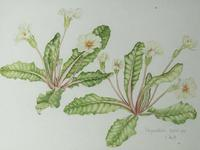 Watercolour Plant Study Botanical Polyanthus after Charles Darwin (4 of 12)