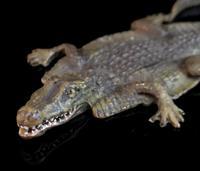 Antique bronze Alligator skin rug, Franz Bergman (8 of 13)