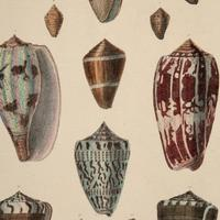 Hand Coloured 'Seashells Three' Lithograph. Goldsmith 1875
