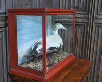 Taxidermy Eider Duck in Case (2 of 5)