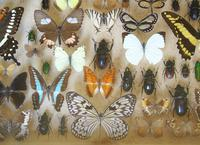Large Antique Specimen Butterfly & Insect Case (8 of 9)