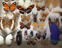 Large Antique Butterfly & Insect Specimen Case (6 of 7)