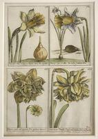 18th Century French Hand Coloured Botanical Copperplate Engravings (5 of 6)