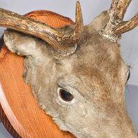 Taxidermist Mounted Red Deer Head (2 of 4)