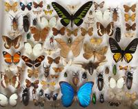 Large Antique Butterfly & Insect Specimen Case (2 of 7)